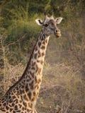 De Giraf van Thornicroft stock afbeeldingen
