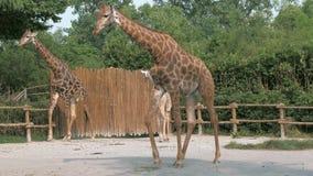 De giraffen lopen in dierentuin op zonnige de zomerdag stock video