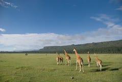 De Giraffen van Rothschild Royalty-vrije Stock Foto's