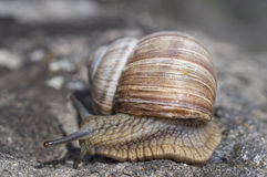 De gladde slak met shell is in haast Stock Afbeelding