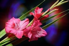 De Gladiolen van de bloem Royalty-vrije Stock Foto