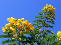 De glanzende Boom van de Seneplant van de Douche Stock Fotografie