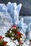 De gletsjer van Moreno van Perito in Gr Calafate, Argentinië Stock Afbeeldingen