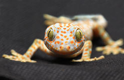 De glimlach van de gekko op zwarte achtergrond Stock Afbeeldingen