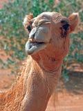 De glimlach van de kameel Royalty-vrije Stock Fotografie