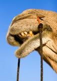 De glimlach van de kameel Royalty-vrije Stock Foto