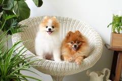 De glimlach van de Pomeranianhond, dier die buitenglimlachen spelen Royalty-vrije Stock Fotografie