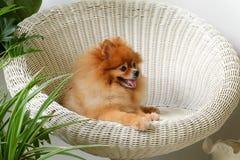 De glimlach van de Pomeranianhond, dier die buitenglimlachen spelen Royalty-vrije Stock Foto's