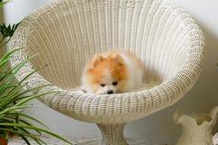 De glimlach van de Pomeranianhond, dier die buitenglimlachen spelen Stock Foto's