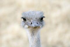 De Glimlach van de struisvogel Royalty-vrije Stock Afbeeldingen