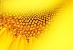 De glimlach van de zonnebloem. stock afbeeldingen