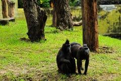 De glimlach van de twee apenbroer aan de bezoekers bij de dierentuin stock foto