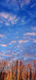 De Gloed van de zonsopgang in de Bos en blauwe hemel Van Alaska van de Winter Royalty-vrije Stock Foto