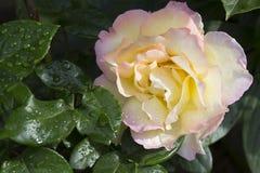 ` de Gloria Day del ` de Rose Fotografía de archivo libre de regalías