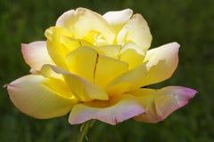 ` de Gloria Day del ` de Rose Imagen de archivo