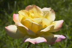 ` de Gloria Day del ` de Rose Fotos de archivo libres de regalías