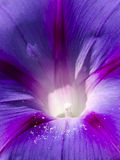 De gloriebloem van de ochtend Royalty-vrije Stock Foto
