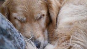 De golden retrieverhond slaapt dichtbij een grote rots Soms opent het ogen stock footage