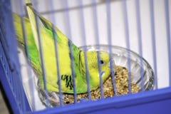 De golvende papegaai pikt gewillig korrel in een kooi royalty-vrije stock foto