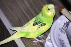 De golvende papegaai zit in de kast dichtbij de platen royalty-vrije stock afbeeldingen