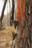 De gom wordt gehaald uit pijnboomboom Almoradistrict, Uttarakhand Stock Afbeeldingen