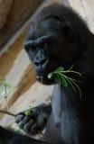 De gorilla eet Stock Fotografie