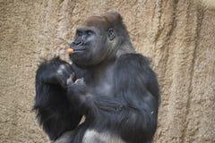 De gorilla eet wortelen en houdt voorraad in hand stock foto's