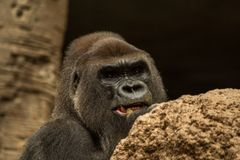 De gorilla stock foto