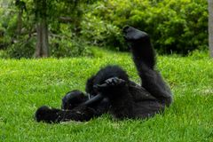 De Gorilla Lying parte posterior encendido fotos de archivo