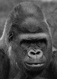 De gorilla's grond-blijven stilstaan, hoofdzakelijk herbivoor apen Royalty-vrije Stock Foto's