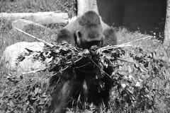 De gorilla's zijn hoofdzakelijk herbivoor grond-blijft stilstaan, stock afbeelding