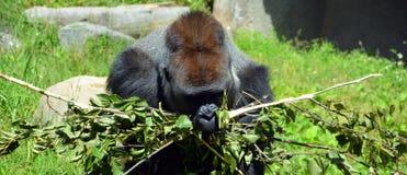 De gorilla's zijn hoofdzakelijk herbivoor grond-blijft stilstaan, stock afbeeldingen