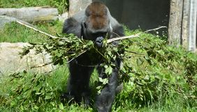 De gorilla's zijn hoofdzakelijk herbivoor grond-blijft stilstaan, royalty-vrije stock foto