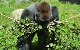 De gorilla's zijn hoofdzakelijk herbivoor grond-blijft stilstaan, stock foto's
