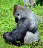 De gorilla's zijn hoofdzakelijk herbivoor grond-blijft stilstaan, royalty-vrije stock foto's
