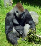 De gorilla's zijn hoofdzakelijk herbivoor grond-blijft stilstaan, royalty-vrije stock fotografie