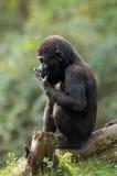 De gorilla van de baby royalty-vrije stock afbeelding