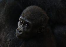 De gorilla van de baby Stock Fotografie
