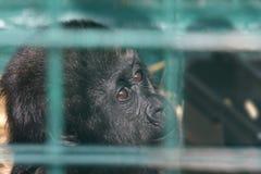 De gorilla van de baby achter staven Royalty-vrije Stock Foto's