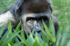 De gorilla van de berg Stock Foto