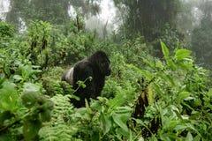 De gorilla van de Silverbackberg in het nevelige bos Stock Foto's