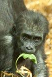 De gorilla van het babylaagland Royalty-vrije Stock Afbeelding