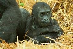 De gorilla van het babylaagland Stock Foto's