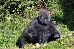 De gorilla van het laagland Stock Foto