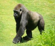 De Gorilla van het laagland Royalty-vrije Stock Foto's
