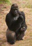 De Gorilla van Silverback Stock Afbeeldingen