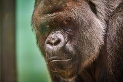 De Gorilla van Silverback Stock Afbeelding