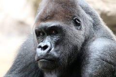 De Gorilla van Silverback stock foto