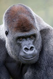 De Gorilla van Silverback van het laagland Stock Foto's
