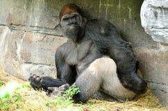 De gorilla ziet eruit Stock Foto